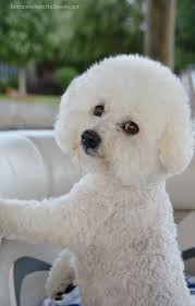 funny bichon frise quotes 109 best images about dogs on pinterest poodles for dogs and sweet