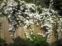 clematis montana alba u0026 grandiflora large flowered white