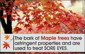 seriously awesome facts about the maple tree