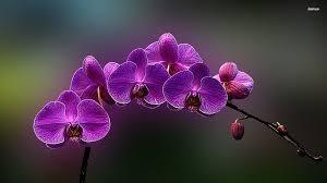 purple orchids purple orchids wallpaper