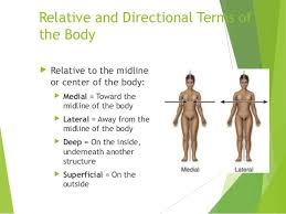 Directional Terms Human Anatomy Introduction To Human Anatomy