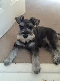 schnauzers hair cuts the schnauzer forum first haircut for bea time for a trim