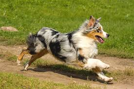 t r australian shepherds the best dogs for distance runners runner u0027s tribe