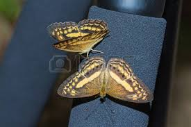 up of the banded yeoman paduca fasciata butterfly