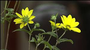 florida native plant society wfsu dimensions