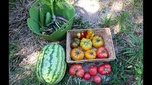 family vegetable garden vegetable garden harvest tomatoes watermelon peppers and more