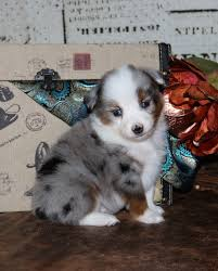 australian shepherd blue heeler australian shepherd mixed with blue heeler puppies
