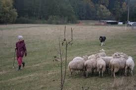 belgian shepherd herding 2015 belgian shepherd u0027s herding cup