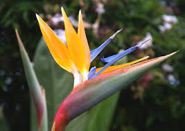 Bird Of Paradise Flower Free Bird Of Paradise Flower Stock Photo Freeimages Com