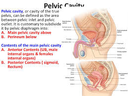 Male Anatomy Perineum Pelvis U0026 Perineum Unit Lecture 2 د حيدر جليل الأعسم Ppt Video
