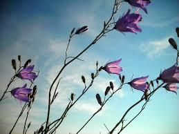 purple and blue flowers purple flowers blue sky by hoogathy on deviantart