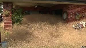 Tumbleweed Hairy Panic U0027 Tumbleweed Invades Australia Town Bbc News