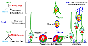 the mammalian golgi regulates numb signaling in asymmetric cell