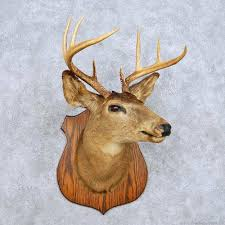 whitetail deer shoulder mount for sale 14116 the taxidermy store