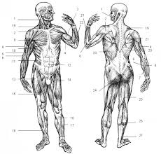Human Body Muscles Images Sport Studies Fundamental Terminology In English
