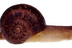 Where Can You Find Snails In Your Backyard How Fast Do Garden Snails Reproduce Home Guides Sf Gate