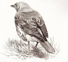 28 best birds images on pinterest draw poultry and bird sketch