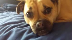 pug x boxer dog jack russell pug falling asleep youtube