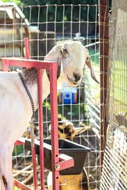 supplements for goats
