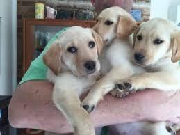 afghan hound and labrador retriever labrador retriever puppies for sale labrador puppies