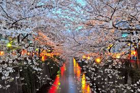 Cherry Blossom Facts by The Facts About Cherry Blossom Season In Japan