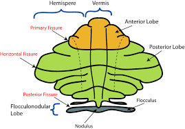 What Portion Of The Brain Controls Respiration The Cerebellum Boundless Anatomy And Physiology