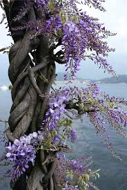 wisteria sinensis australian bush flower 231 best wisteria images on pinterest garden ideas wisteria and