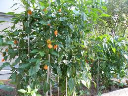 should you stake pepper plants bonnie plants