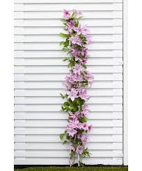 buy up climbers clematis u0027sally u0027 bakker com
