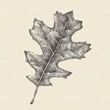 White Oak Leaf Oak Leaf Drawing Stock Vector Art 486865284 Istock