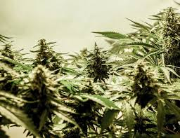 are mexican drug cartels withdrawing from us cannabis market