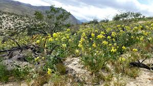 best places for viewing anza borrego flower report anza
