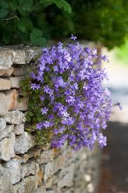 Flowers For Backyard by Purple Campanula Bell Flower For Cottage Garden U2013 Start A Easy