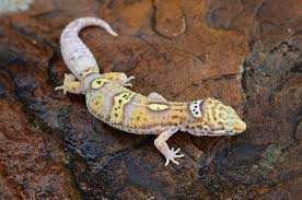 halloween mask leopard gecko for sale some leopard geckos you don u0027t want to miss