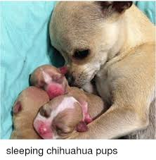 Meme Chihuahua - chihuahua and chihuahua meme on esmemes com