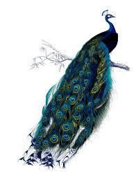 vintage clip art natural history stunning peacock the clipartix