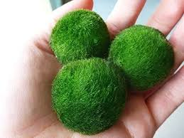 marimo moss care guidethese cool green balls of