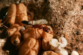 princess pheromone u0027 tells ants which larvae are destined to be queens