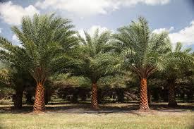 sylvester date palm tree sylvester farms sylvester farms