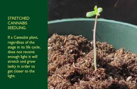best light for weed seedlings germinating cannabis seeds and roots blog about cannabis seeds