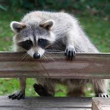 How To Get Rid Of Raccoons In Backyard Raccoon Facts Get Rid Of Raccoons In The Attic