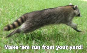 How Do You Get Rid Of Skunks In Your Backyard Raccoon Prevention How To Keep Raccoons Away And Out Of Your