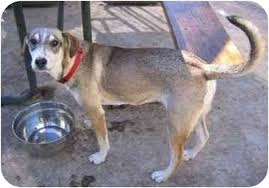 australian shepherd california ashley adopted dog fcar 2005 0013 tracy ca whippet