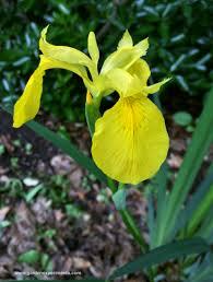 native plants of louisiana louisiana irises