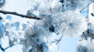 Magnolia Wallpaper by White Magnolias Hd Wallpaper 1223424