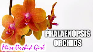 buy an orchid why do i buy phalaenopsis orchids