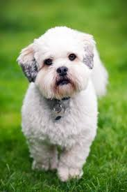 the lhasa apso big sassy diva personality in a small body