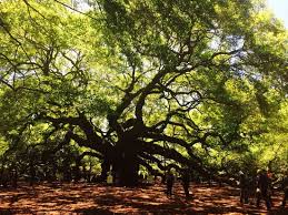 majestic tree picture of oak tree johns island tripadvisor