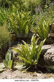 rockery garden ornamental ferns stock photos rockery garden