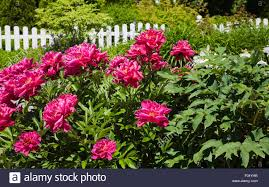 pink peony flowers paeonia sp and white wooden picket fence in